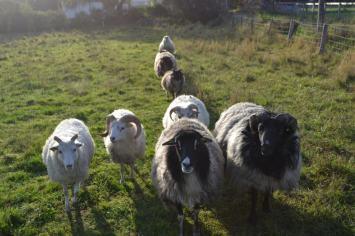 Heide ohne Schafe ist undenkbar