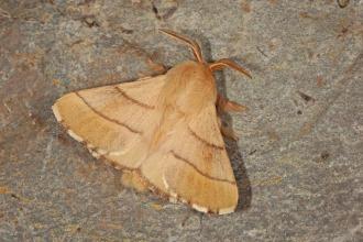 Gefühlt das häufigste Tier am Licht: Malacosoma neustria - Ringelspinner. (Leiwen, 15.06.2018, Foto: Tim Laußmann)