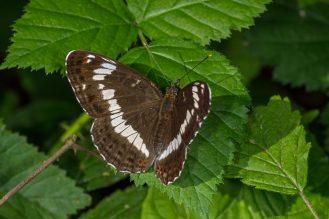 Zur richtigen Zeit in der Wahner Heide (Köln) recht häufig anzutreffen: Limenitis camilla - Kleiner Eisvogel 27.06.2019 (Foto: Tim Laußmann)