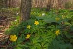 Gelbes Windröschen (Anemone ranunculoides), Wupperschleife bei Opladen, 28.03.2020 (Foto: Tim Laußmann)